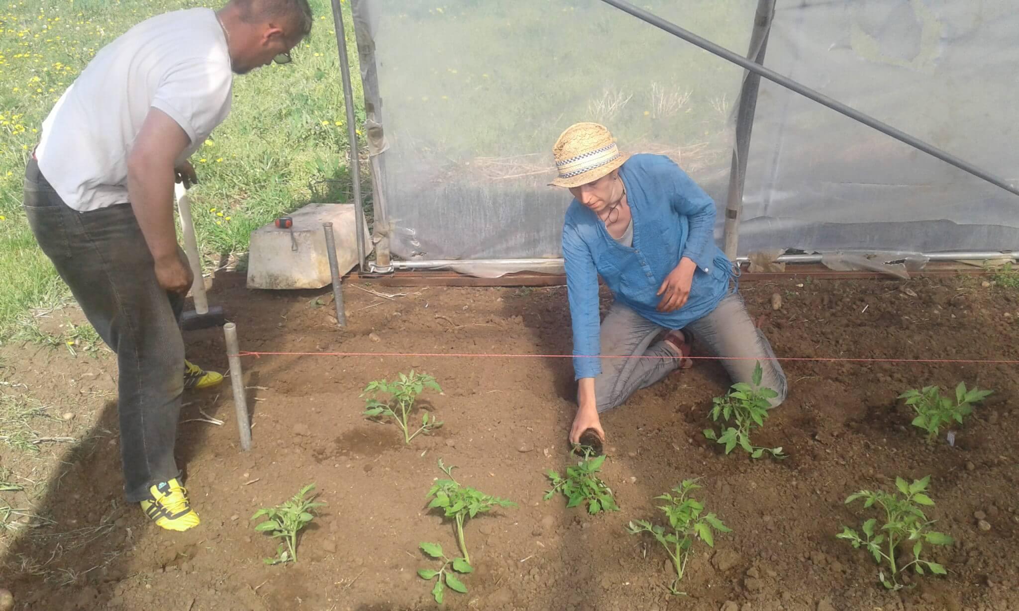 lucian und lucille setzen die letzten paradeispflanzen