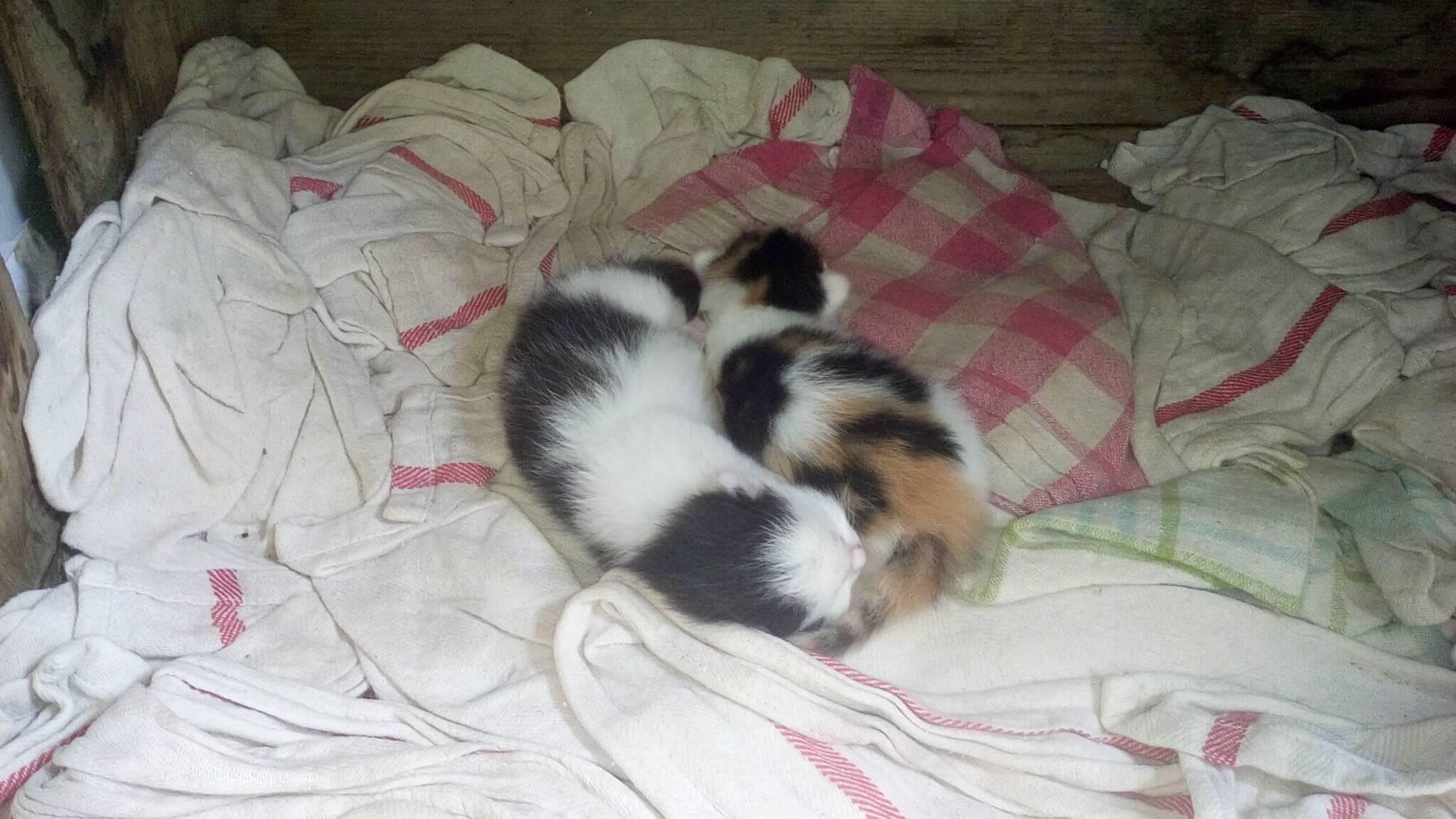 Katzennachwuchs am Gärtnerhof - unsere zukünftigen Mäusefänger